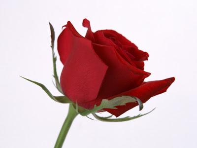 BANCO DE REGALOS (Amigo secreto)  Single-Red-Rose-Flower-Wallpaper