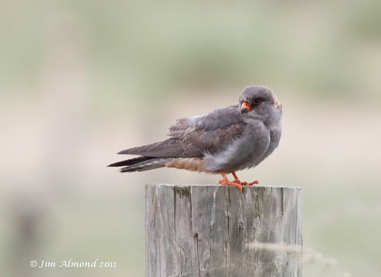 Falconiformes. sub Falconidae - sub fam Falconinae - gênero Falco - Página 3 Blog%2BRed%2Bfooted%2BFalcon%2BHorsey%2B18%2B6%2B11%2BIMG_0688_filtered