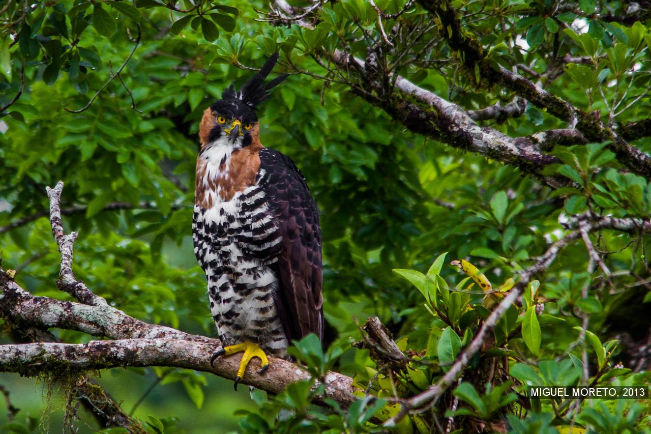 Falconiformes. Família  Acciptridae - Subfamília Buteonidade- Gaviões de penacho. genêro SPIZAETUS Publicar_AvesNatureza-IMG_6478