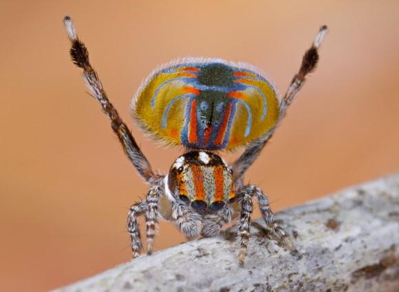 اجمل عنكبوت فى العالم Image013-580x425