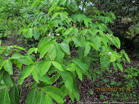 VƯỜN CÂY HOA ĐV I - Page 20 Holarrhena-pubescens-Kutaja-Holarrhena-antidysenterica
