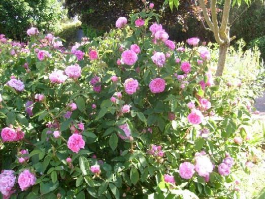 rosier moussu salet  S7303508