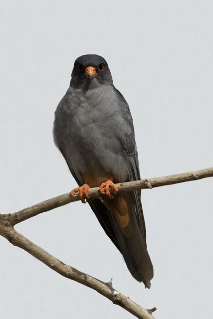 Falconiformes. sub Falconidae - sub fam Falconinae - gênero Falco Amur-Falcon-male