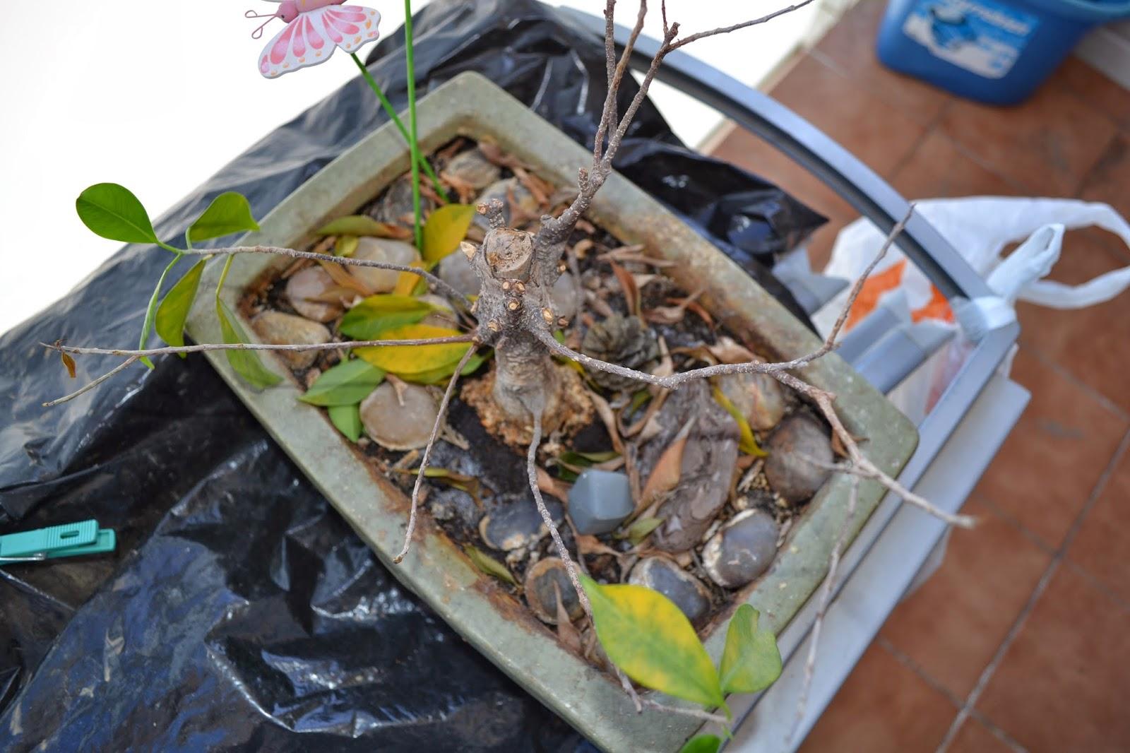 Recuperar urgente un Ficus Retusa DSC_0083