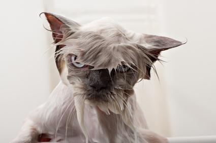 DESPEDIDAS - Página 2 Gatos-mojados-fotos-graciosas-7