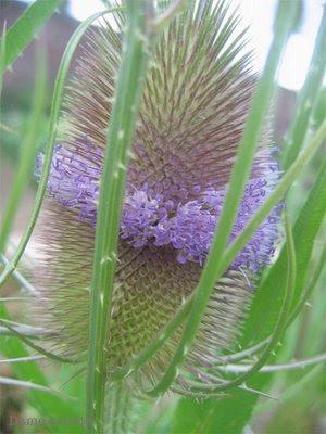 Les plantes: réceptacles des forces cosmiques Chardon