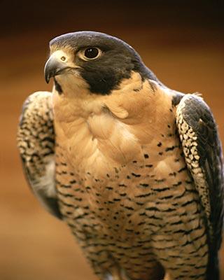 Το Χόγκουαρτς - Σελίδα 3 Peregrine-falcon