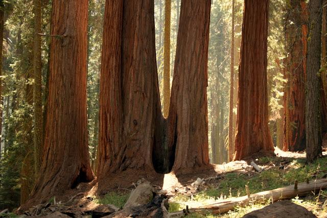 مخلوقات تعيش لأكثر من 3000عام Sequoia_02666253a099d9_o