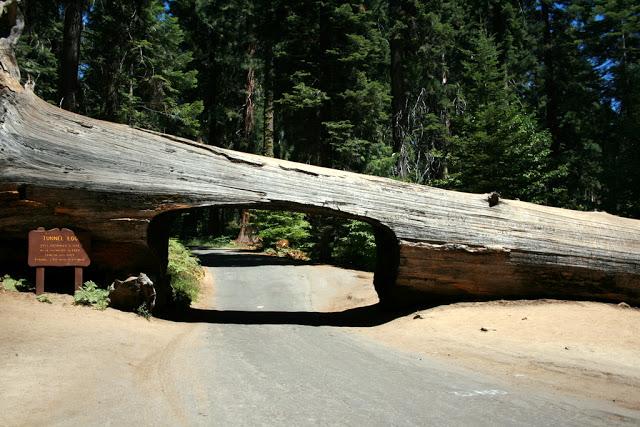 مخلوقات تعيش لأكثر من 3000عام Sequoia_02666167278450_o