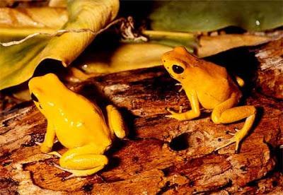 بعض انواع الضفادع الســـــــــــامة Golden-poison-dart-frog