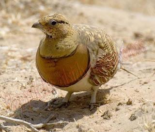 طائر القطا في ولاية النعامة بالجزائر Pin-tailed_Sandgrouse_T500