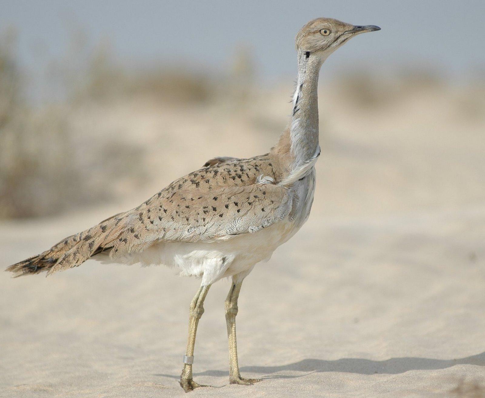 طائر الحبارى ضمن قائمة الحيوانات المهددة بالنقراض  %D8%A7%D9%84%D8%AD%D8%A8%D8%A7%D8%B1%D9%89