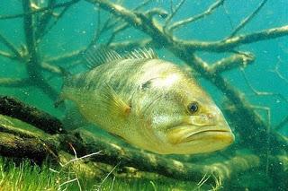 Escrito haciendo funcionar tus señuelos por José Manuel López Pinto Largemouth-bass-fishing