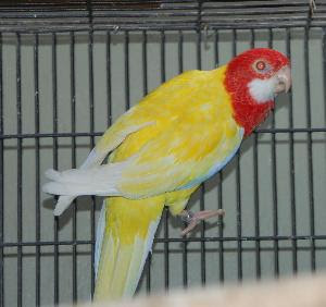Crvena rozela (Platycercus Eximius) Rosella_Golden_Manteled_Parakeet_18591_943%5B1%5D