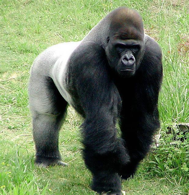 Gorila vs Leopardo Copyrighted_Image_Reuse_Prohibited_19161