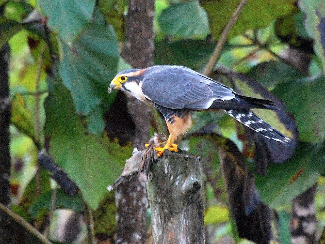 Falconiformes. sub Falconidae - sub fam Falconinae - gênero Falco CSC_0830