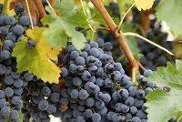 ஊக்கம்,உற்சாகம்,புத்துணர்வு தரும் பழங்கள்- (புகைப்படம்) Blue_grapes
