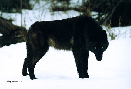 Kidswow-Wolves Black-wolf%255B1%255D