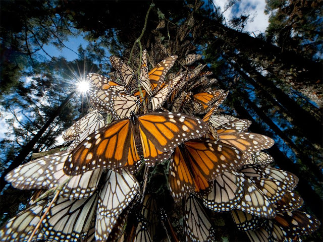 Leptiri - Page 2 Monarch-butterflies-mexico_28112_990x742