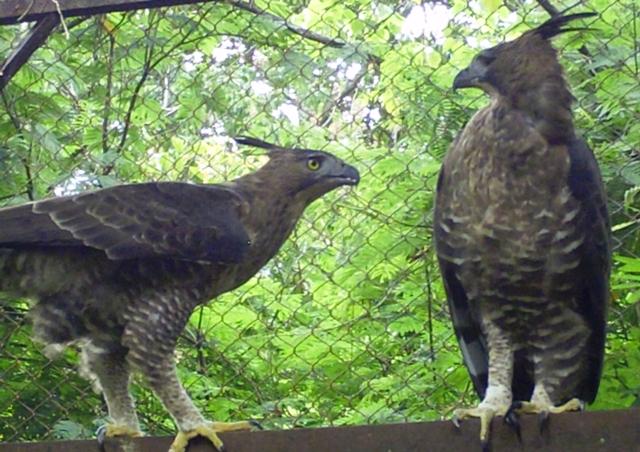 Falconiformes. Família  Acciptridae - Subfamília Buteonidade- Gaviões de penacho. genêro SPIZAETUS FILE0548