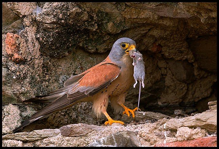 Falconiformes. sub Falconidae - sub fam Falconinae - gênero Falco - Página 2 DSC_8761