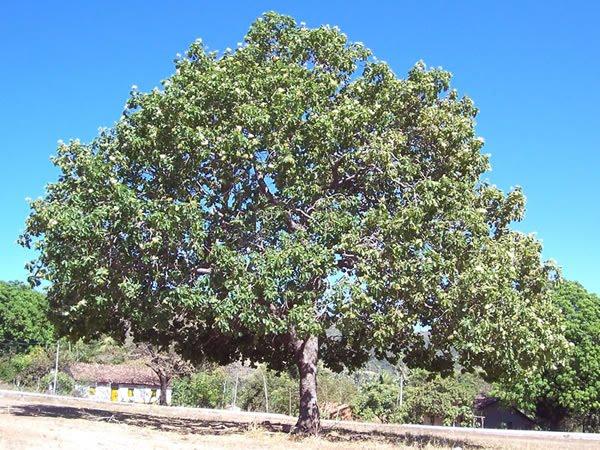 Árvores - Nossos baixos antes de tomar forma AOS_20060812_Pequi_01
