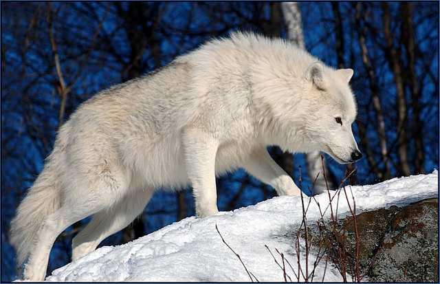 SVAN, Silvyr Asvald Snow-White-Arctic-wolf-4
