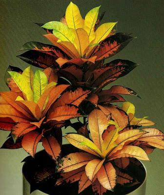 Sobne biljke Codiaeum%2Bvariegatum