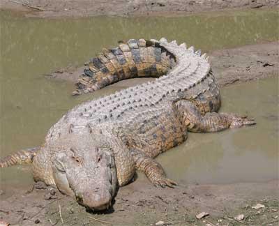 Crocodilo do Nilo VS Aligator Crocodilo_agua_salgada1