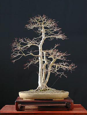 El precio justo en bonsais Dsc_0142v