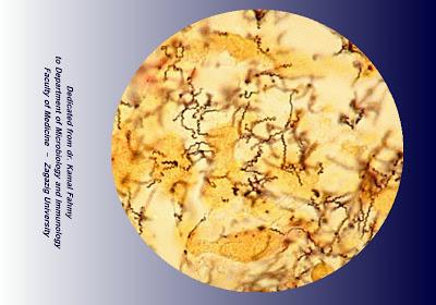 اطلس الميكروبيولوجي -1- 7_Treponema