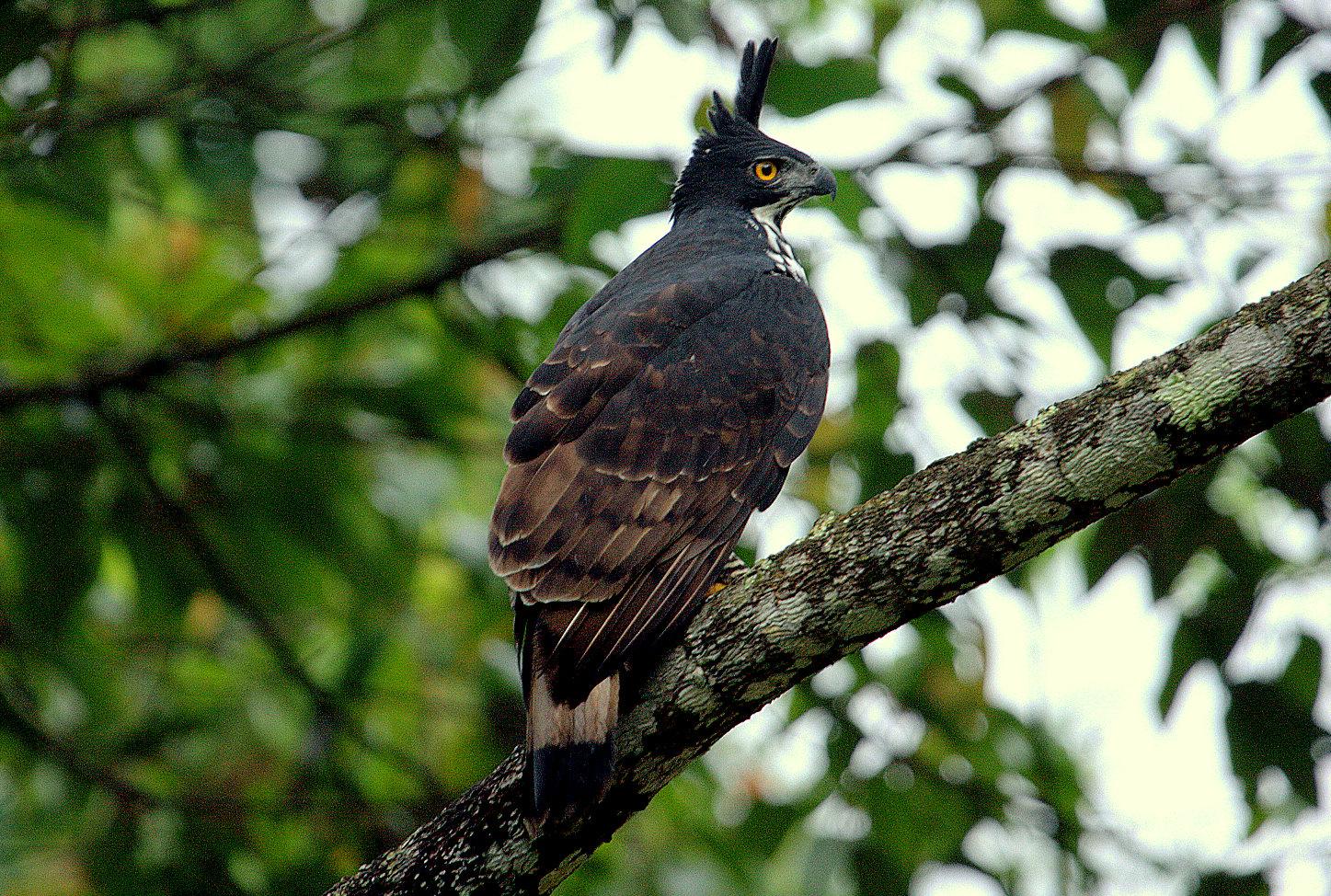 Falconiformes. Família  Acciptridae - Subfamília Buteonidade- Gaviões de penacho. genêro SPIZAETUS _MG_0006