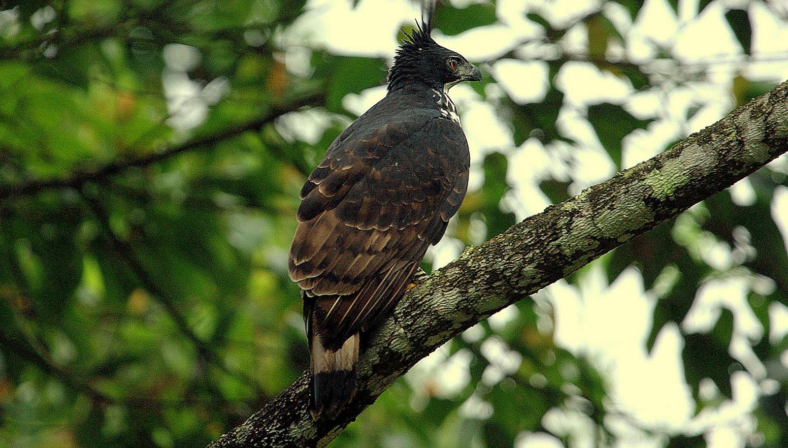 Falconiformes. Família  Acciptridae - Subfamília Buteonidade- Gaviões de penacho. genêro SPIZAETUS _MG_0009