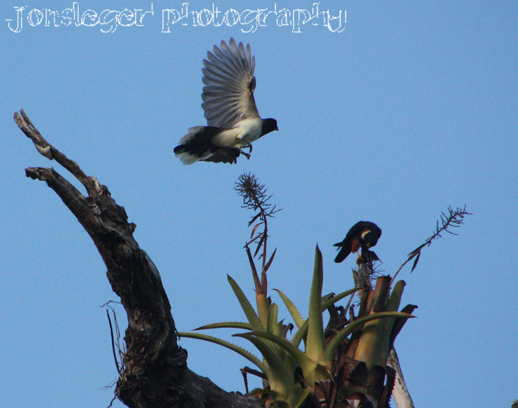 Falconiformes. sub Falconidae - sub fam Falconinae - gênero Falco - Página 2 Brown-Jay-attacking-Bat-Fal