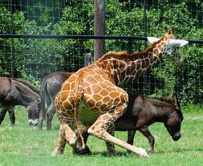 Sachen Gibt's ! ? - Seite 3 Giraffe-fucks-donkey