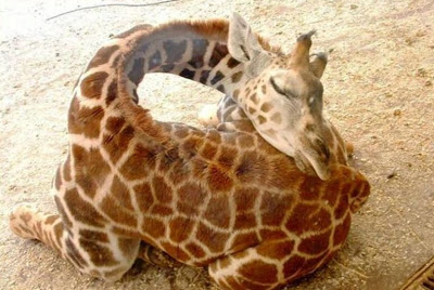 كيف تنام الزرافة برقبتها الطويلة Giraffe