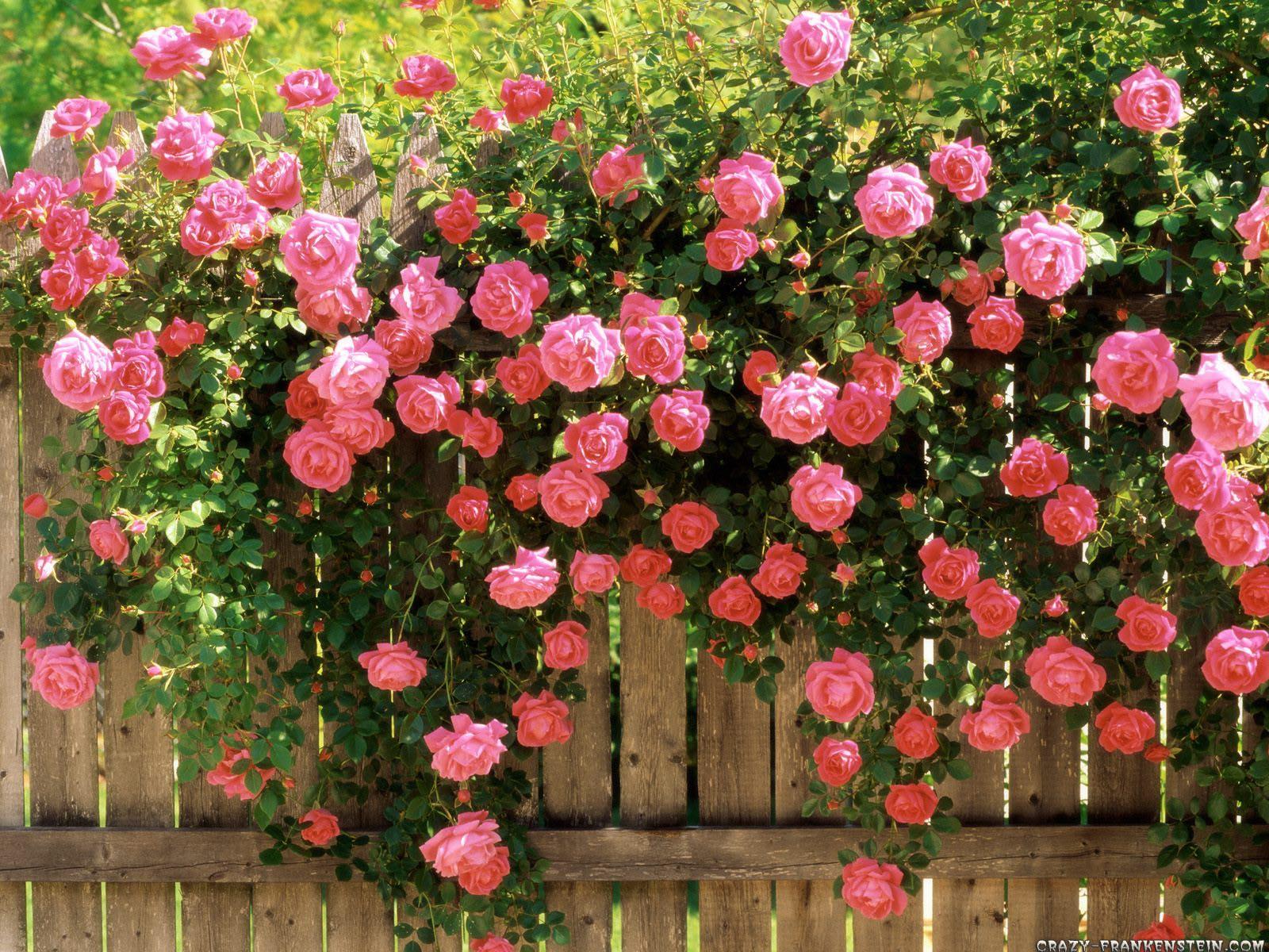 வால்பேப்பர்கள் ( flowers wallpapers ) 01 - Page 5 American-beauty-climbing-roses-wallpaper-1600x1200
