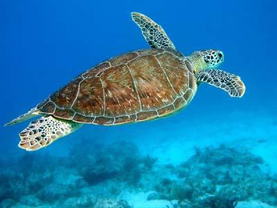 السلاحف البحرية ورحلة الى 200 مليون عام Hawksbill-sea-turtle