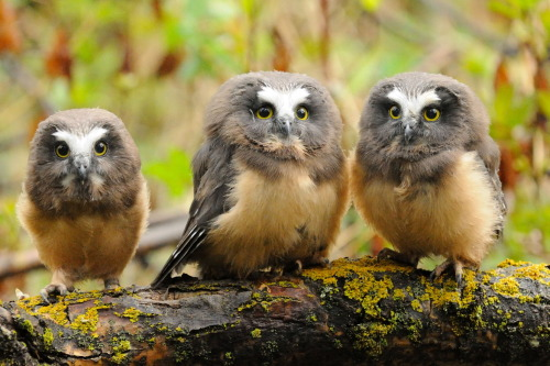 creatures-alive: Northern Saw-Whet Owlettes by Sylvia L
