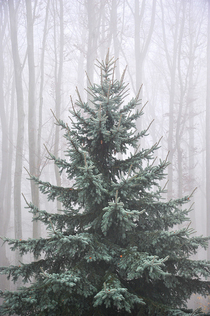 Božićna drvca - Page 2 Tumblr_mervyx8dLI1rbhi1ro1_500