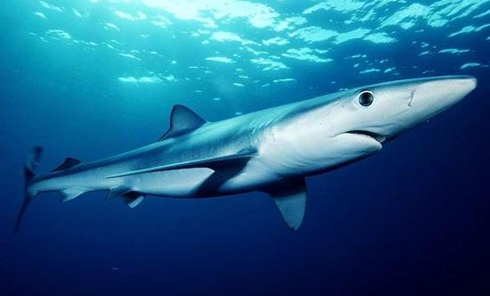 Lim Ji Hwan - Page 5 Blue-shark1