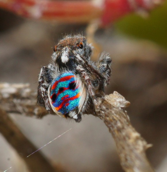 اجمل عنكبوت فى العالم Image021-580x597