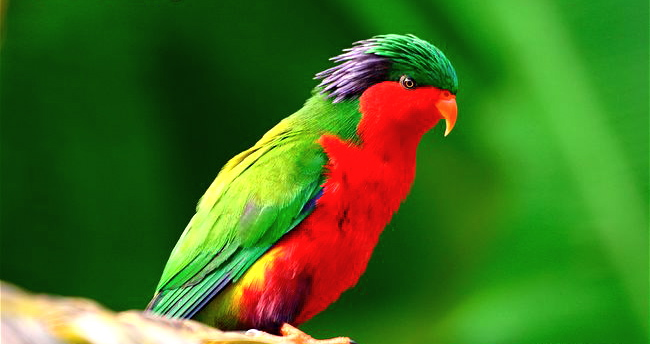 Vini Kuhlii o Lori de Rimatara Side-view-of-an-adult-Rimatara-lorikeet-