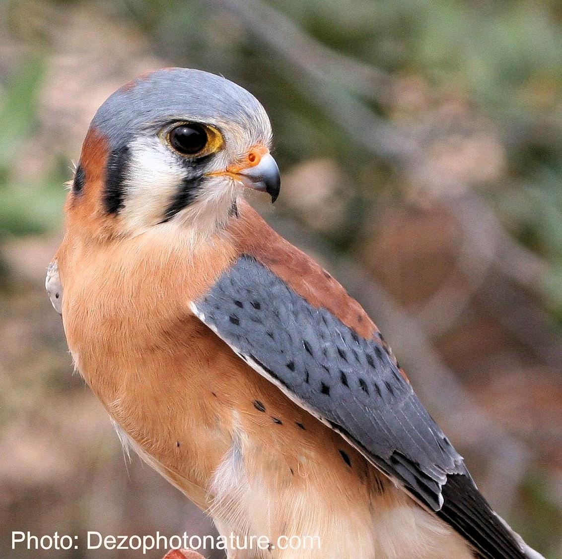 Oiseau de Martine 09/02/2015 trouvé par Ajonc Crecerelle-dezo-w3