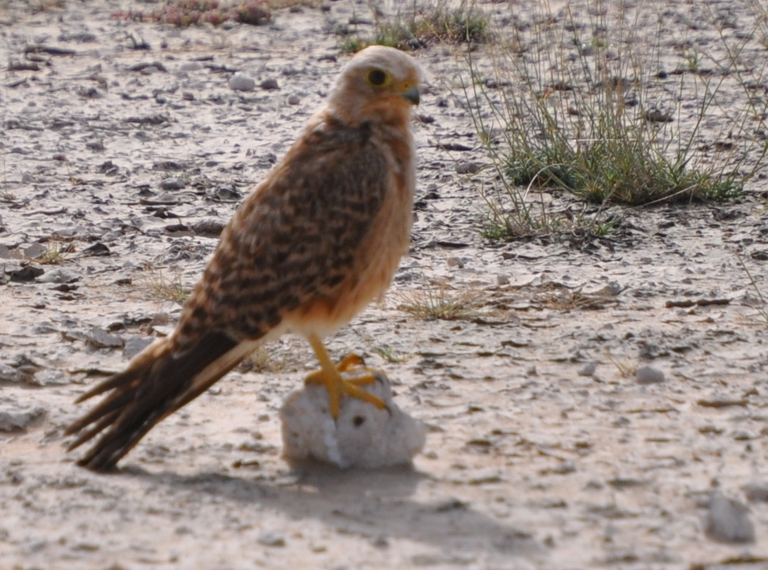 Falconiformes. sub Falconidae - sub fam Falconinae - gênero Falco - Página 2 DSC_0281best