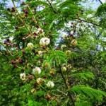 உசிலம் பூவின் மருத்துவம்  Acacia3-150x150