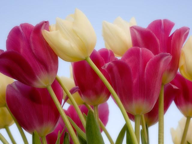 أزهار التيوليب: عالم من الجمال والأناقة Beautiful-tulips-wallpapers_13296_1600x1200