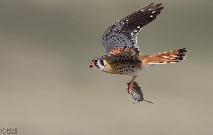Falconiformes. sub Falconidae - sub fam Falconinae - gênero Falco - Página 3 American-kestrel-flight-vole-mia-mcpherson-7280