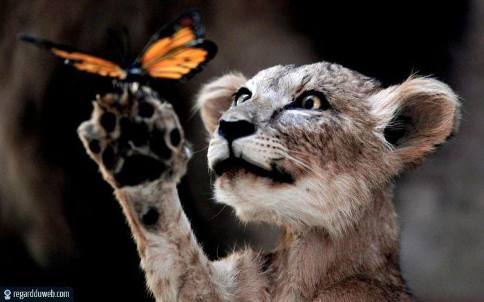 Regards Regardduweb-drole-insolite-animal-felin-lion1
