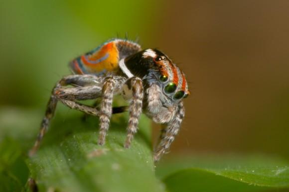 اجمل عنكبوت فى العالم Image006-580x386